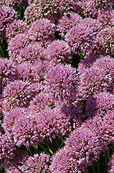 Millenium Ornamental Onion (Allium 'Millenium') at Spruce It Up Garden Centre