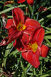 Sun Dried Tomatoes Daylily (Hemerocallis 'Sun Dried Tomatoes') at Spruce It Up Garden Centre