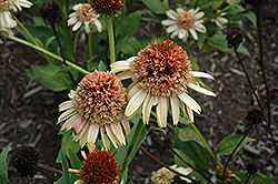 Supreme Cantaloupe Coneflower (Echinacea 'Supreme Cantaloupe') at Spruce It Up Garden Centre