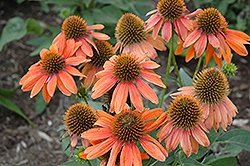Sombrero® Adobe Orange Coneflower (Echinacea 'Balsomador') at Spruce It Up Garden Centre