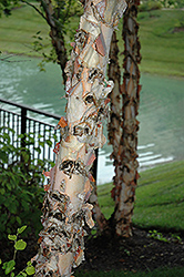 River Birch (Betula nigra) at Spruce It Up Garden Centre