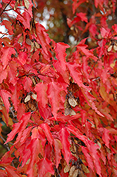 Amur Maple (tree form) (Acer ginnala '(tree form)') at Spruce It Up Garden Centre