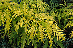 Sutherland Gold Elder (Sambucus racemosa 'Sutherland Gold') at Spruce It Up Garden Centre