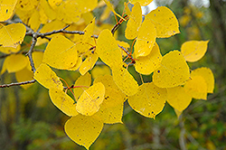 Trembling Aspen (Populus tremuloides) at Spruce It Up Garden Centre