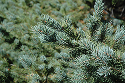 White Spruce (Picea glauca) at Spruce It Up Garden Centre