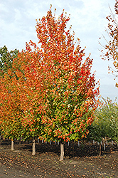 Inferno Sugar Maple (Acer saccharum 'Jeferno') at Spruce It Up Garden Centre