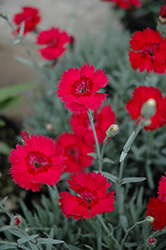 Red Beauty Pinks (Dianthus gratianopolitanus 'Red Beauty') at Spruce It Up Garden Centre