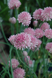 Forescate Chives (Allium schoenoprasum 'Forescate') at Spruce It Up Garden Centre