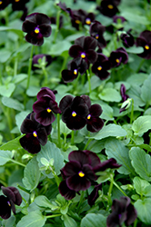Sorbet® Black Delight Pansy (Viola 'Sorbet Black Delight') at Spruce It Up Garden Centre