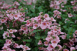 Juliet Light Pink Twinspur (Diascia 'Juliet Light Pink') at Spruce It Up Garden Centre