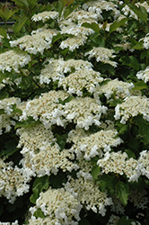 Bailey Compact Highbush Cranberry (Viburnum trilobum 'Bailey Compact') at Spruce It Up Garden Centre