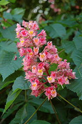 Ruby Red Horse Chestnut (Aesculus x carnea 'Briotti') at Spruce It Up Garden Centre