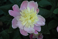 Butter Bowl Peony (Paeonia 'Butter Bowl') at Spruce It Up Garden Centre