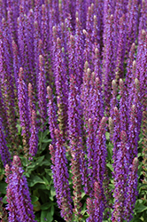 East Friesland Sage (Salvia nemorosa 'East Friesland') at Spruce It Up Garden Centre