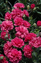Early Bird™ Sherbet Pinks (Dianthus 'Wp08 Nik03') at Spruce It Up Garden Centre