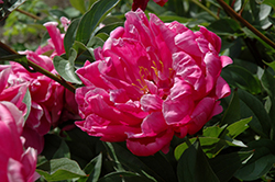 Double Red Peony (Paeonia 'Double Red') at Spruce It Up Garden Centre