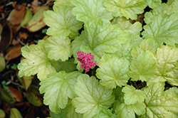 Havana Coral Bells (Heuchera 'Havana') at Spruce It Up Garden Centre