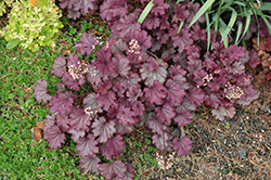 Sugar Berry Coral Bells (Heuchera 'Sugar Berry') at Spruce It Up Garden Centre
