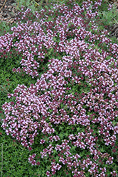 Magic Carpet Thyme (Thymus serpyllum 'Magic Carpet') at Spruce It Up Garden Centre