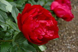 Heritage Peony (Paeonia 'Heritage') at Spruce It Up Garden Centre