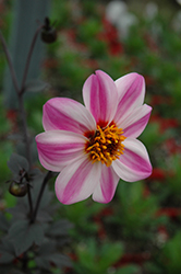 Mystic Dreamer Dahlia (Dahlia 'Mystic Dreamer') at Spruce It Up Garden Centre