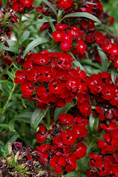 Dash Crimson Sweet William (Dianthus barbatus 'Dash Crimson') at Spruce It Up Garden Centre