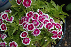 Barbarini Purple Picotee Sweet William (Dianthus barbatus 'Barbarini Purple Picotee') at Spruce It Up Garden Centre