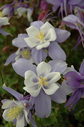 Songbird Blue Bird Columbine (Aquilegia 'Blue Bird') at Spruce It Up Garden Centre