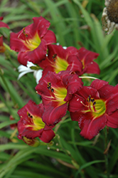 Pardon Me Daylily (Hemerocallis 'Pardon Me') at Spruce It Up Garden Centre