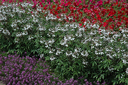 Senorita Blanca Spiderflower (Cleome 'Senorita Blanca') at Spruce It Up Garden Centre
