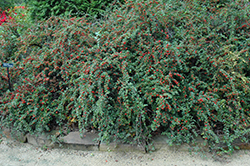 Cranberry Cotoneaster (Cotoneaster apiculatus) at Spruce It Up Garden Centre