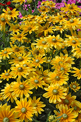Prairie Sun Coneflower (Rudbeckia hirta 'Prairie Sun') at Spruce It Up Garden Centre