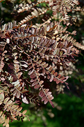 Ruby Lace Honeylocust (Gleditsia triacanthos 'Ruby Lace') at Spruce It Up Garden Centre