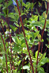 Bailey Red-Twig Dogwood (Cornus baileyi) at Spruce It Up Garden Centre