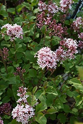Bloomerang® Pink Perfume Lilac (Syringa 'Pink Perfume') at Spruce It Up Garden Centre