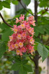 Fort McNair Red Horse Chestnut (Aesculus x carnea 'Fort McNair') at Spruce It Up Garden Centre
