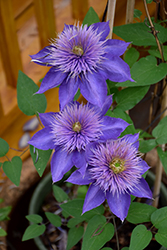 Multi Blue Clematis (Clematis 'Multi Blue') at Spruce It Up Garden Centre