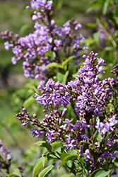 Henri Robert Lilac (Syringa vulgaris 'Henri Robert') at Spruce It Up Garden Centre