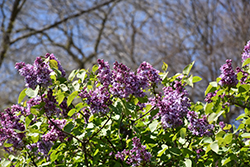 K.A. Timiryazev Lilac (Syringa vulgaris 'K.A. Timiryazev') at Spruce It Up Garden Centre