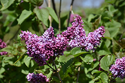 De Jussieu Lilac (Syringa vulgaris 'De Jussieu') at Spruce It Up Garden Centre