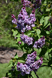Grand-Duc Constantin Lilac (Syringa vulgaris 'Grand-Duc Constantin') at Spruce It Up Garden Centre