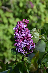 President Poincare Lilac (Syringa vulgaris 'President Poincare') at Spruce It Up Garden Centre