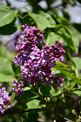 Humphrey Lilac (Syringa vulgaris 'Humphrey') at Spruce It Up Garden Centre