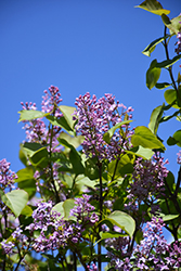 Cheyenne Korean Early Lilac (Syringa oblata 'Cheyenne') at Spruce It Up Garden Centre
