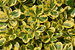 Gold Splash® Wintercreeper (Euonymus fortunei 'Roemertwo') at Spruce It Up Garden Centre