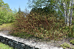 Bailey's Red Twig Dogwood (Cornus sericea 'Baileyi') at Spruce It Up Garden Centre