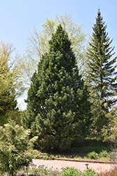 Swiss Stone Pine (Pinus cembra) at Spruce It Up Garden Centre