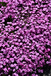 Emerald Pink Moss Phlox (Phlox subulata 'Emerald Pink') at Spruce It Up Garden Centre