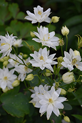 Clememtine White Columbine (Aquilegia vulgaris 'Clementine White') at Spruce It Up Garden Centre