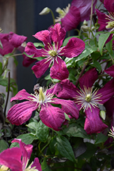 Madame Julia Correvon Clematis (Clematis 'Madame Julia Correvon') at Spruce It Up Garden Centre